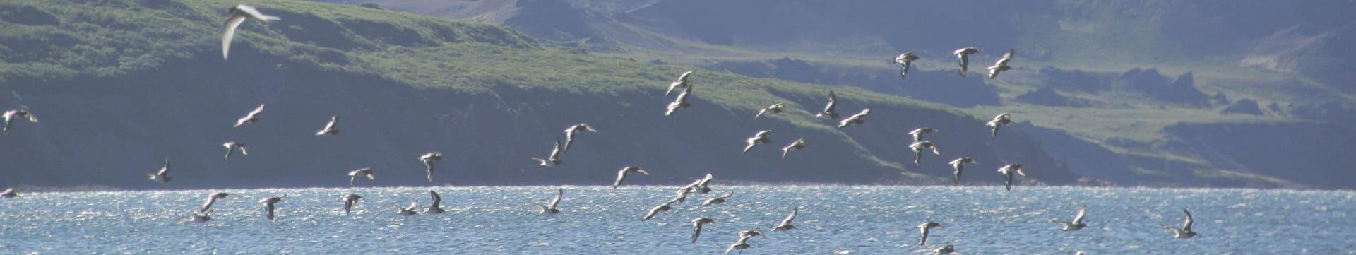Algen aus Island